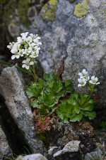 Saxifraga pedemontana All., 1785